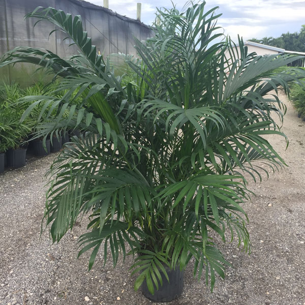 Cat Palm South Florida Exotic Botanicals