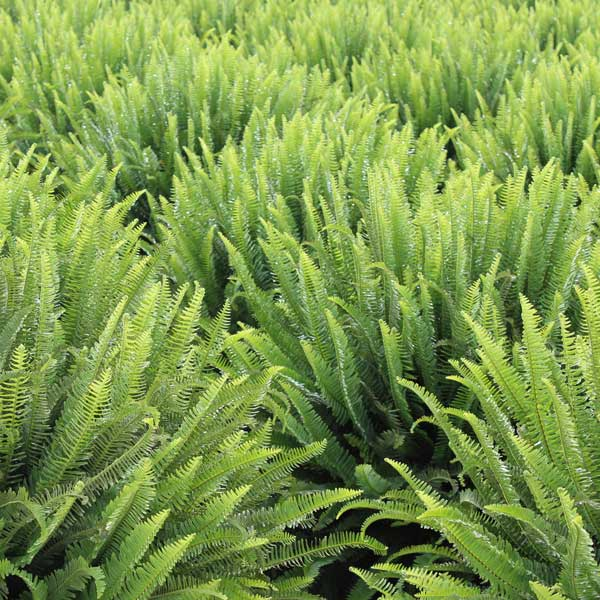 Kimberly-Queen-Fern-Exotic-Botanicals